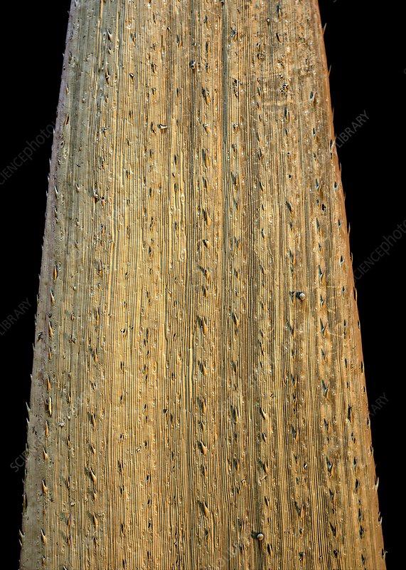 Wheat leaf, SEM