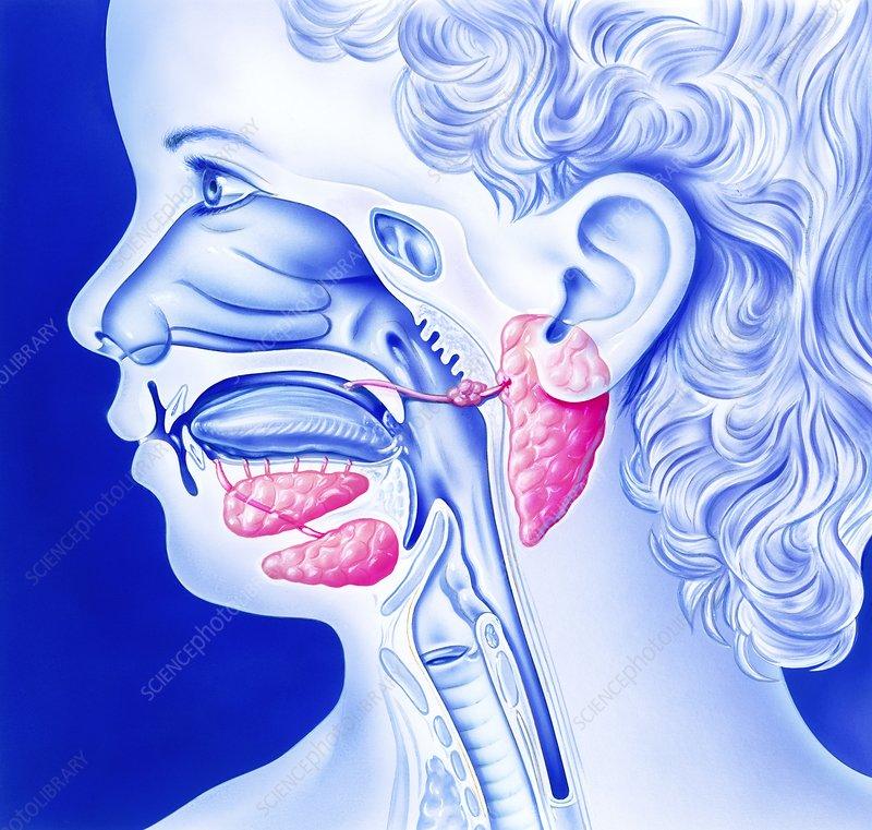 Mumps and salivary glands, artwork