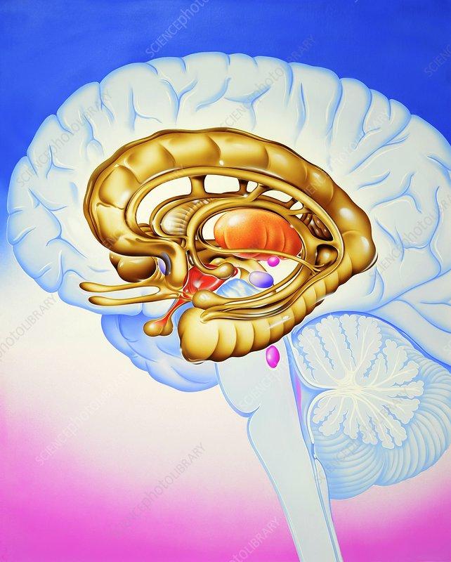 Brain's limbic system, artwork