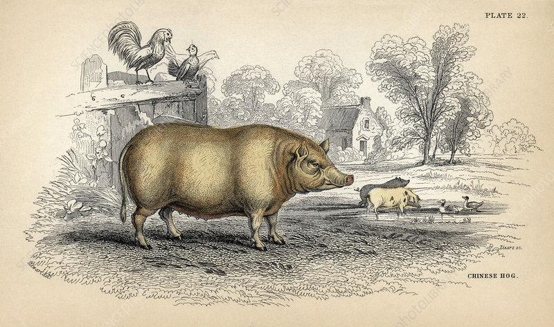 Chinese hog, 19th-century artwork