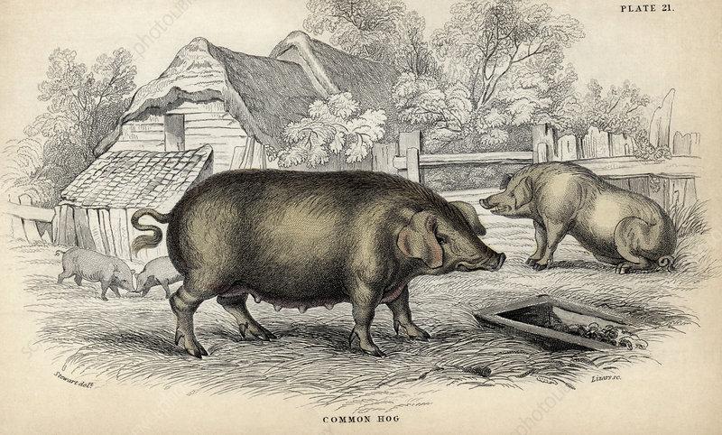 Common hog, 19th-century artwork