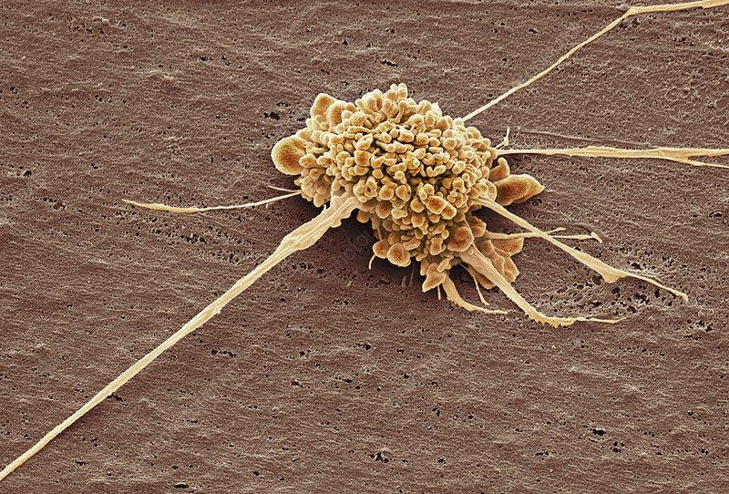 Stem cell, SEM
