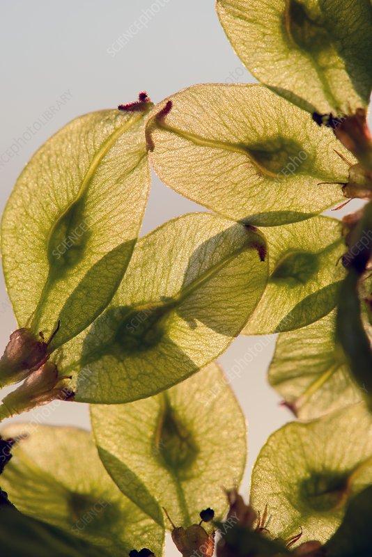 Fruits of Wych Elm (Ulmus glabra)