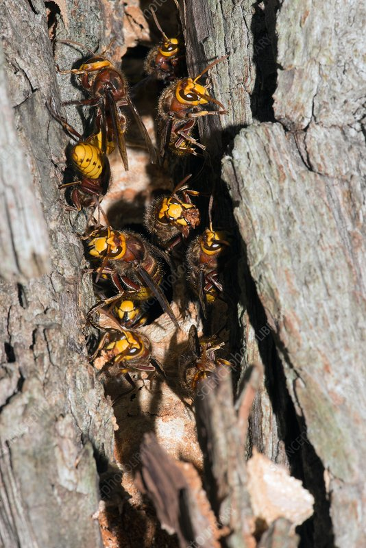 European hornets guarding nest