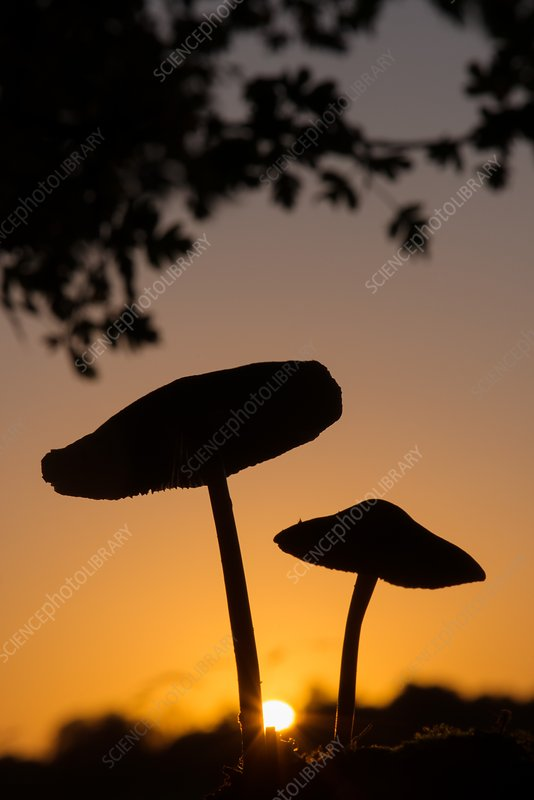 Toadstools at sunset