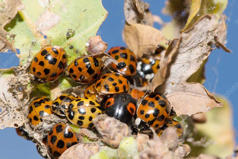 Hibernating harlequin ladybirds