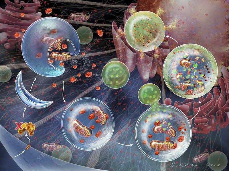Cellular autophagy, illustration
