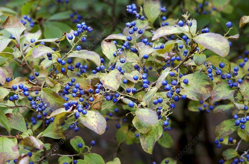 Sapphire berries (Symplocos paniculata )