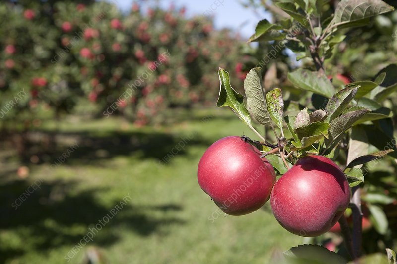 Ripe apples in a orchard