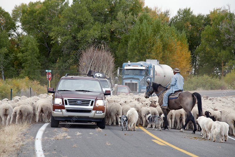 Herding sheep, Colorado, USA