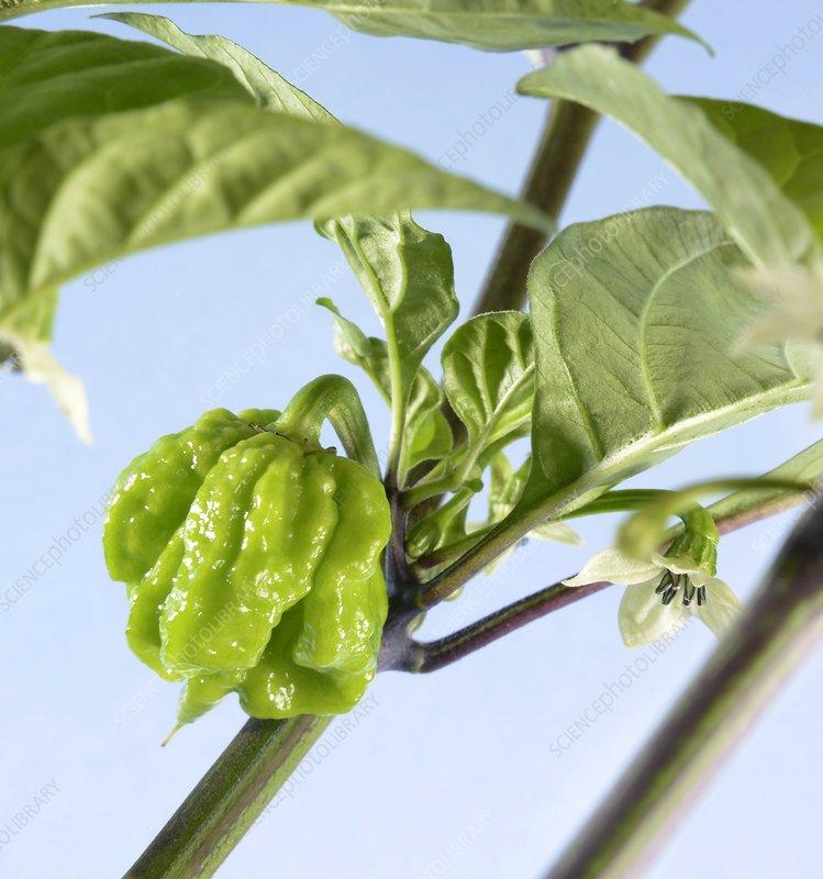 Carolina Reaper chilli pepper plant