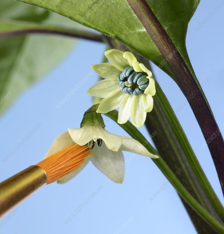 Pollination of Carolina Reaper chilli