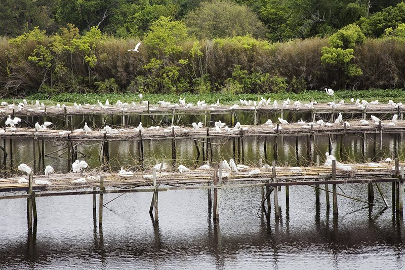 Egrets nesting, Louisiana, USA