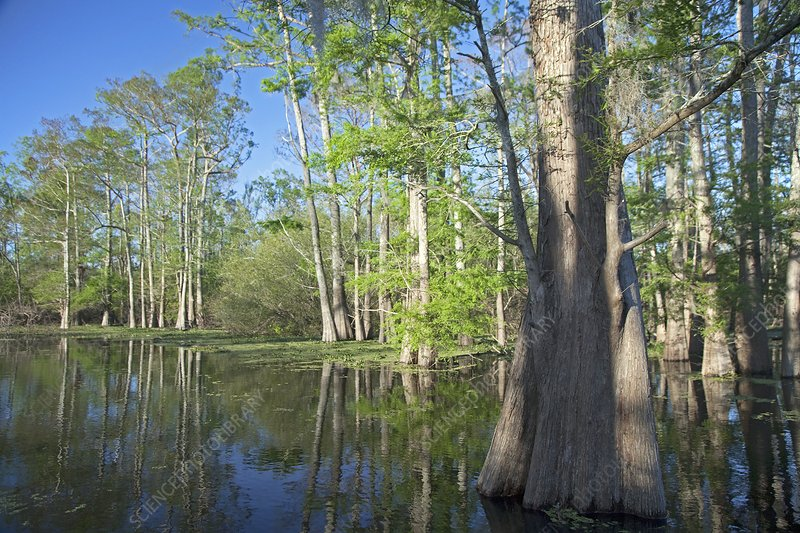 Cypress-tupelo forest, Louisiana, USA