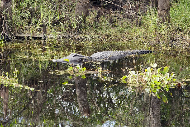 Alligator in swamp, Louisiana, USA