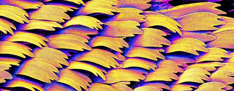 Swallowtail butterfly wing scales, SEM