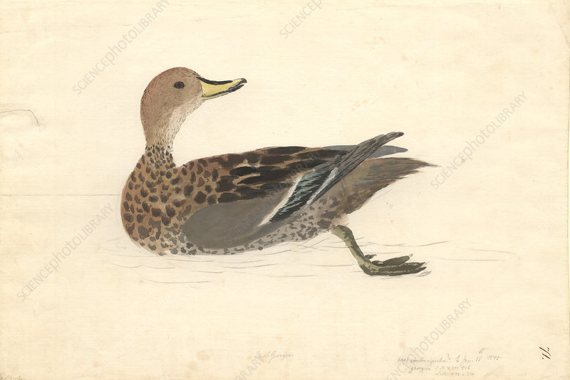 Yellow-billed pintail, illustration