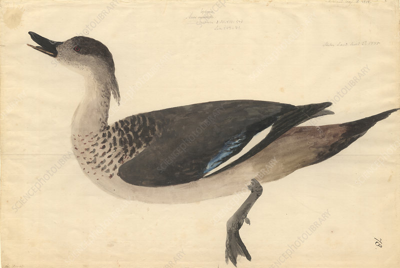Crested duck, illustration