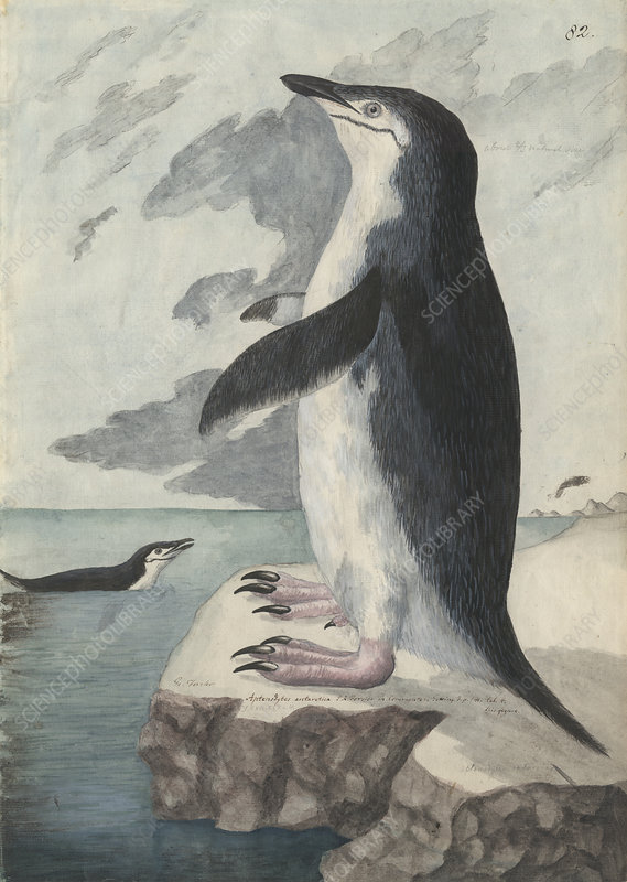 Chinstrap penguin, illustration