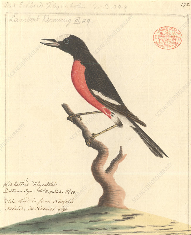 Pacific robin, illustration