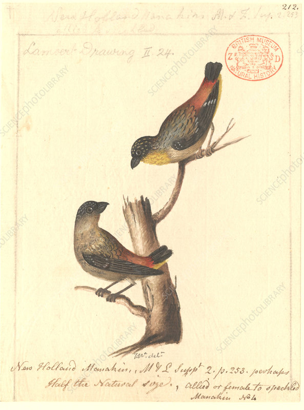 Spotted pardalote, illustration