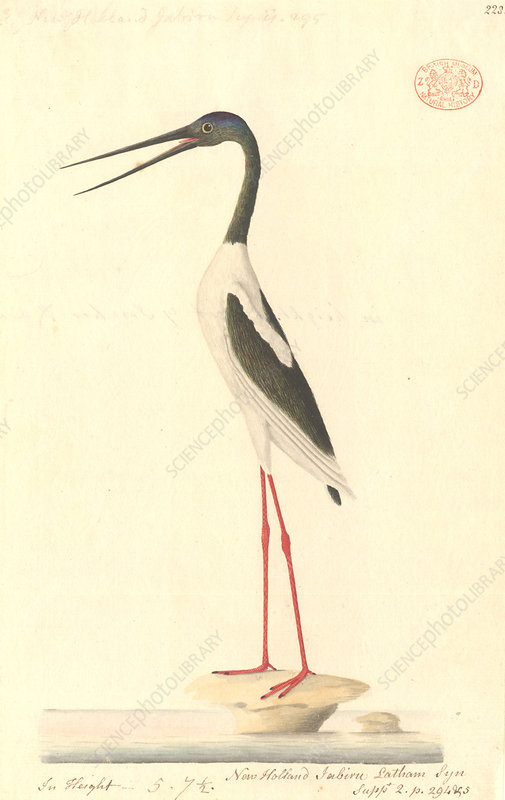 Black-necked stork, illustration