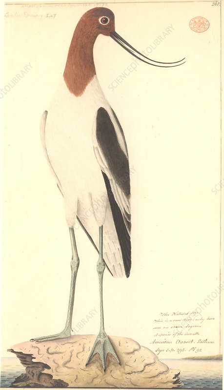 Red-necked avocet, illustration