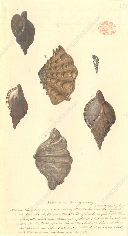 Four different molluscs, illustration