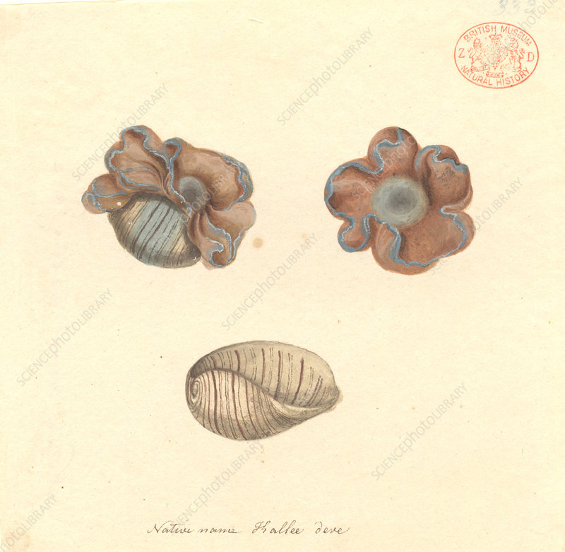 Rose-petal bubble shell, illustration