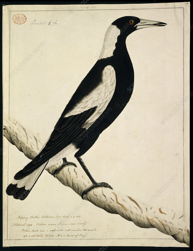 Australian magpie, illustration