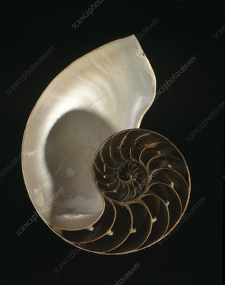 Common nautilus