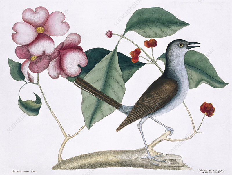 Northern mockingbird, illustration