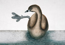 Pied-billed grebe, illustration