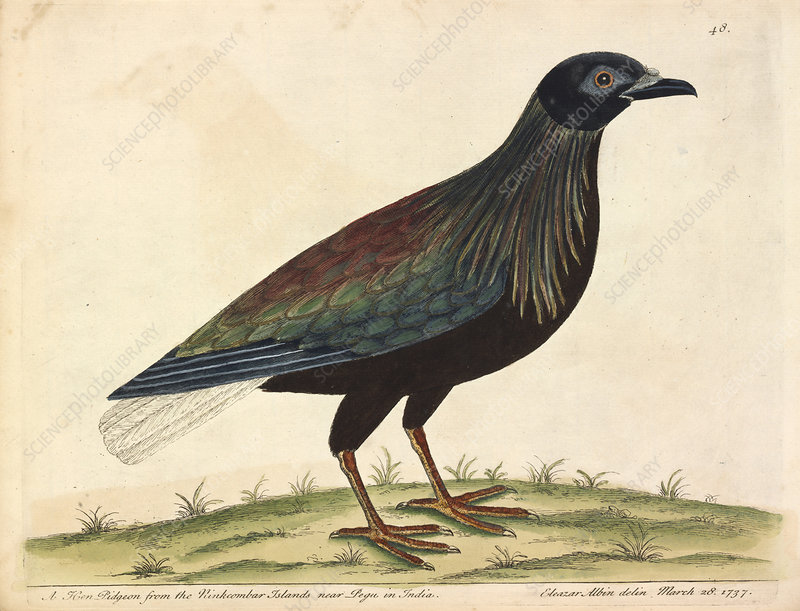Nicobar Pigeon, illustration