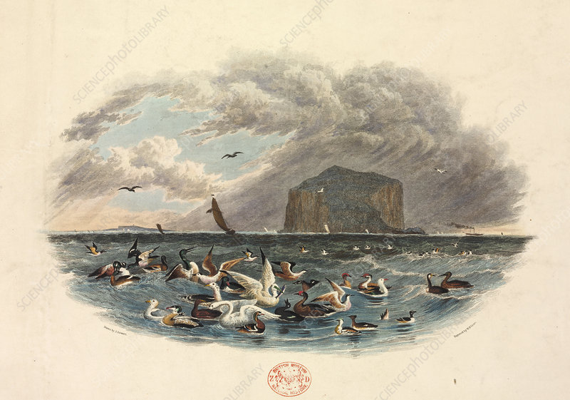 Various Water Birds, illustration