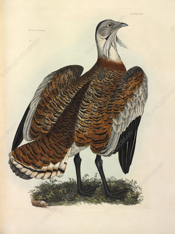 Great Bustard, illustration