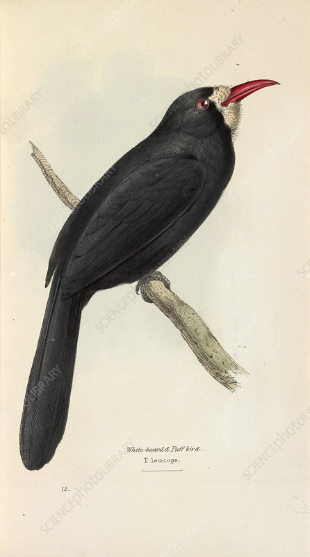 White-fronted Nunbird, illustration