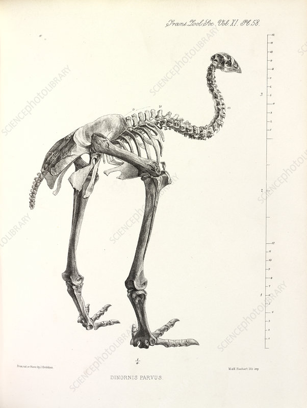 Little Bush Moa, illustration