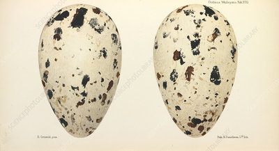Great Auk Eggs, illustration