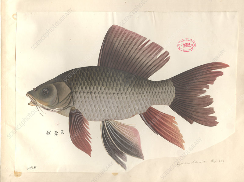 Common carp, illustration