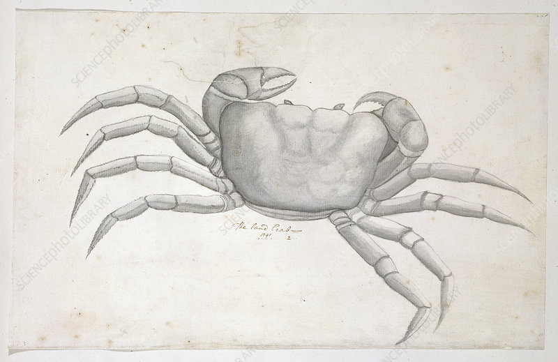 Land crab, illustration