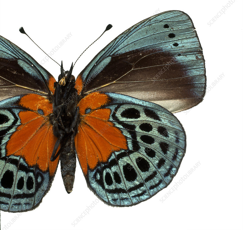 Asterope leprieuri, butterfly