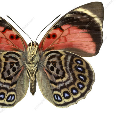 Agrias claudina, butterfly