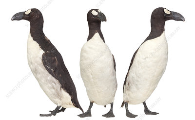 Great auk
