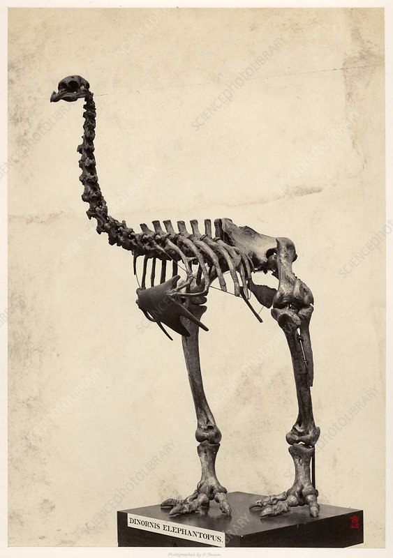 Heavy-footed moa