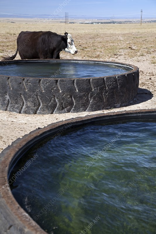 Cow and water trough, Colorado, USA