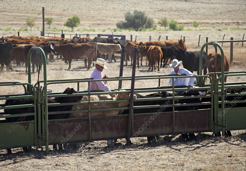 Vaccinating cattle
