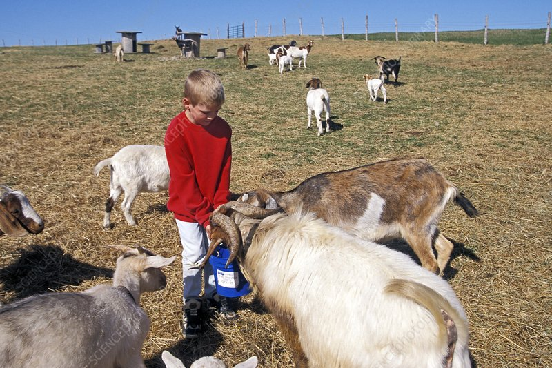 Boy feeding goats