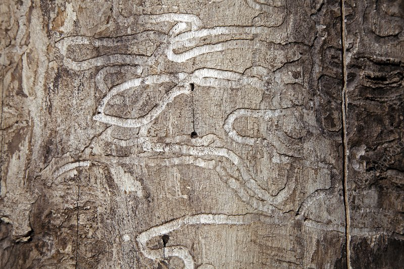 Emerald ash borer tracks on dead tree