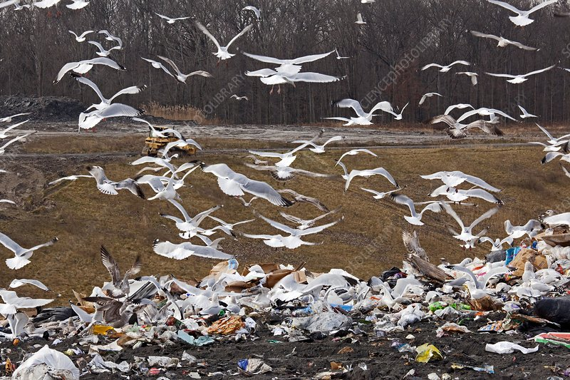 Gulls at a landfill site, USA